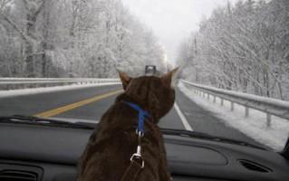 gatto in auto osserva la strada