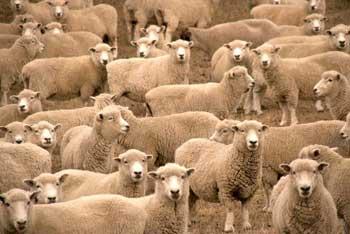Conformismo: così fan tutti (come pecore)