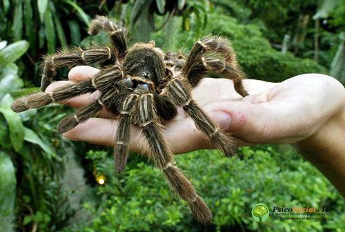 Aracnofobia o paura dei ragni